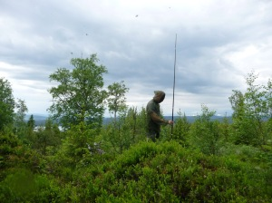 Looking at how much moose forage on pine trees in the summer of 2012.
