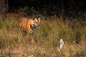 s2012-12-18-tiger2