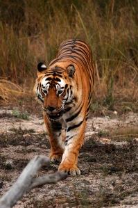 s2012-12-18-tiger5-ed1
