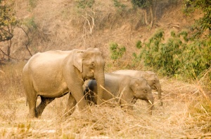 I saw the Asiatic elephant in Rajaji National Park in January.
