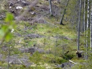 ss2014-05-22-brunbjörn1
