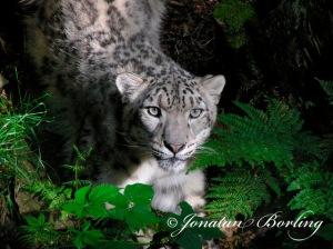 2008-07-09-Snöleopard-Irbis1