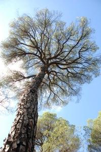 s2012-10-27-Donana-träd1