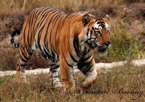 s2012-12-18-tiger6-ed1