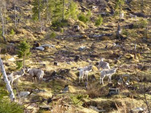 Semi-domestic reindeer are common in northern Sweden. They are owned by the Sami minority but are free-ranging.
