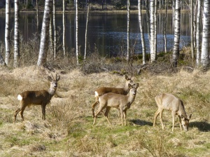 Roe deer is especially common in the southern third of Sweden and along the east coast, but can nowadays be found almost across the whole country
