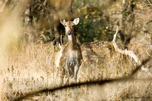 ss2012-12-31-spotteddeer