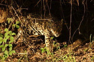 Once the sun has set this jaguar male goes into the forest and we head back home for the night.