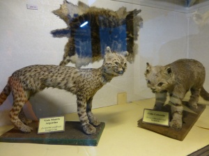 The crazy cat mob - a Geoffroy's cat (Leopardus geoffroyi) and a colocolo (Leopardus colocolo) at a museum in Punta Arenas.